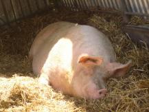Bild eines Schweins im Tierheim von Wroclaw / Polen