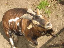 Bild einer Ziege im Tierheim von Wroclaw / Polen